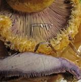 Lactarius repraesentaneus image