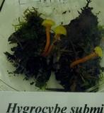 Hygrocybe subminutula image