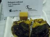 Fomitopsis ochracea image