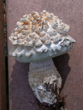 Amanita magniverrucata image