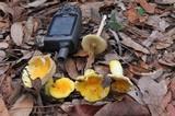 Russula flavida image