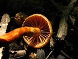 Cortinarius distans image