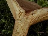 Lactarius mutabilis image