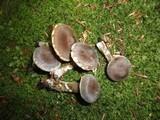 Cortinarius incisus image