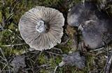 Russula grisea image