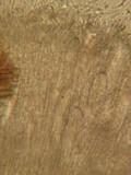 Iodophanus carneus image