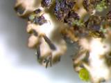 Anaptychia palmulata image