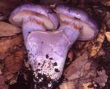 Cortinarius subfoetidus image