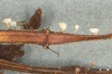 Calyptella capula image