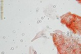 Pluteus cyanopus image