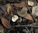 Ampulloclitocybe clavipes image