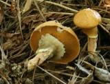 Suillus salmonicolor image