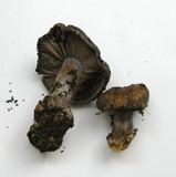 Cortinarius glaucopus image