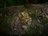 Mycena renati image