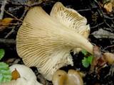 Clitocybula dusenii image