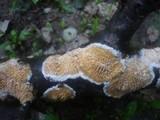 Basidioradulum radula image
