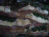 Pachykytospora tuberculosa image