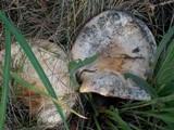 Lactarius torminosus image