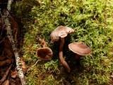 Cortinarius flexipes image