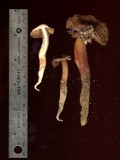 Phaeocollybia kauffmanii image