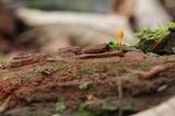 Cordyceps formosana image