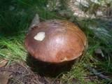 Boletus badius image
