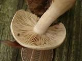 Hebeloma albidulum image