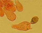 Psathyrella prona image