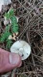 Amanita citrina f. lavendula image