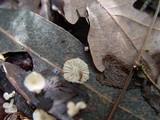 Marasmiellus ramealis image