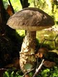 Leccinum variicolor image