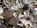 Agaricus vinosobrunneofumidus image