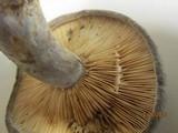 Lactarius pseudomaculatus image