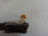 Gymnopilus aeruginosus image