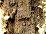 Coniophora puteana image