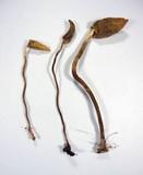 Leratiomyces cucullatus image