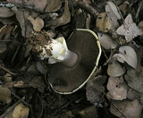 Agaricus albolutescens image