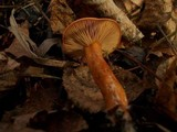 Lactarius aurantiacus image
