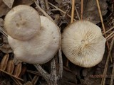 Clitocybe compressipes image