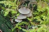 Mycena maculata image