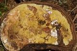 Hypocrea pulvinata image