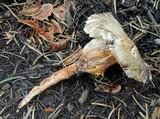 Gymnopus fusipes image