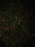 Lactarius luculentus var. laetus image