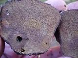 Rhizopogon vinicolor image
