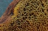 Boletus subtomentosus image