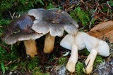 Lactarius kauffmanii image