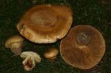Cortinarius olearioides image