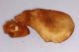 Gymnopilus cyanopalmicola image