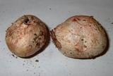 Rhizopogon rubescens image