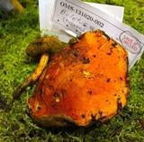 Boletus coccyginus image